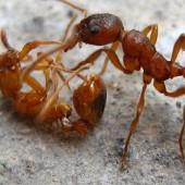 Дезинфекция от муравьев