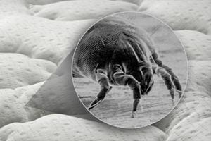 Где обитают пылевые клещи?