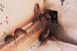 Место обитание крыс дома