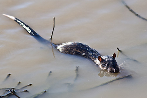 Плавает ли крыса?