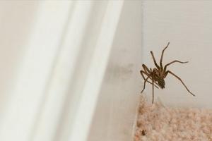 Домашние пауки