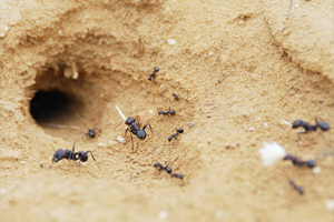 Муравьи в доме – муравьи на участке