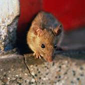 Серая крыса выведение