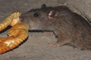 Чем опасна серая крыса