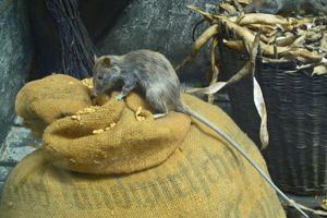 Чем опасна черная крыса