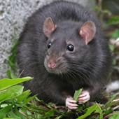Черная-крыса выведение